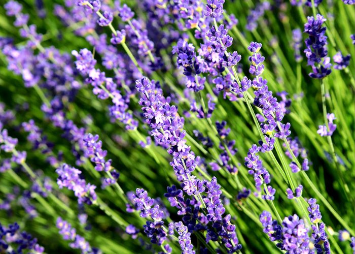 Lavender Greeting Card featuring the photograph Lavender Square by Carol Groenen