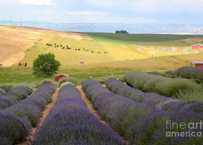 Lavender Greeting Card featuring the photograph Lavender Valley by Carol Groenen