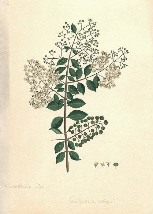 Henna Greeting Card featuring the photograph Lawsonia Inermis, Historical Artwork by Science Photo Library