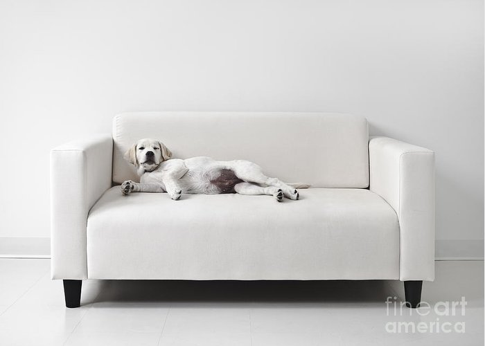 Dog Greeting Card featuring the photograph Lazy Dog On The Sofa by Diane Diederich