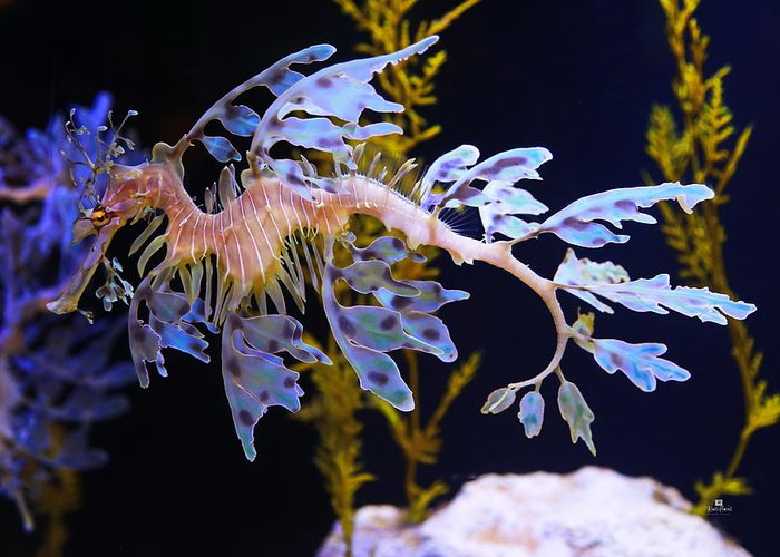 Leafy Greeting Card featuring the photograph Leafy Sea Dragon - Seahorse by Russ Harris