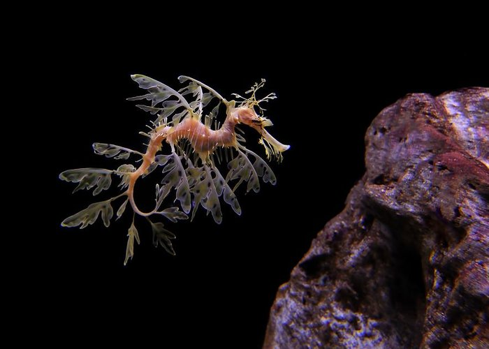leafy Sea Dragon Greeting Card featuring the photograph Leafy Sea Dragon by Jonathan Sabin