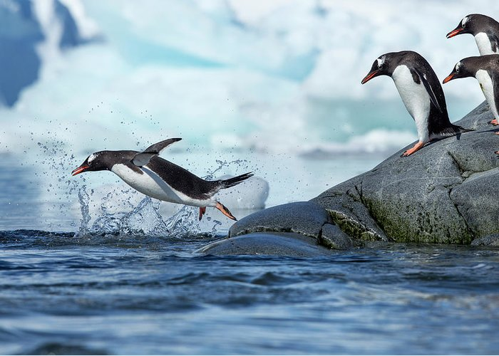 Water's Edge Greeting Card featuring the photograph Leaping Gentoo Penguins, Antarctica by Paul Souders