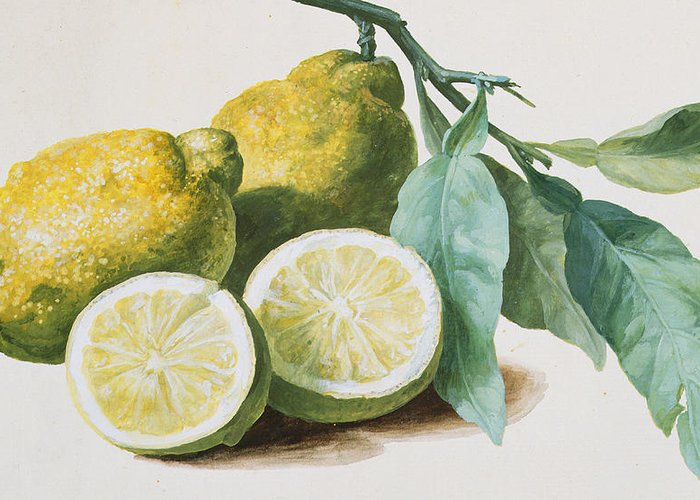Lemon Greeting Card featuring the painting Lemons by Pierre Joseph Redoute