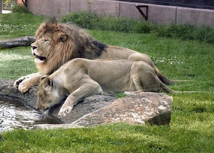 Leo Greeting Card featuring the photograph Leo And Una - Twin Male And Female Lions At The University Of North Alabama by Carol M Highsmith