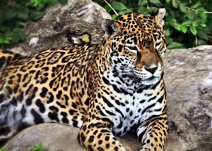 Leopard Greeting Card featuring the photograph Leopard At Rest by Marty Koch