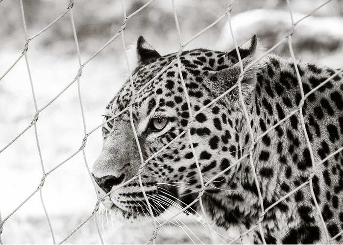 Africa Greeting Card featuring the photograph Leopard Black And White Photography by Georgina Noronha