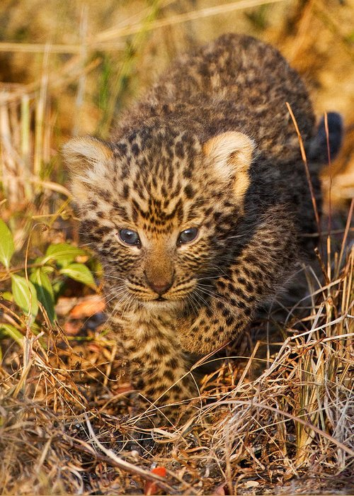 Leopard Greeting Card featuring the photograph Leopard Cub by Max Waugh