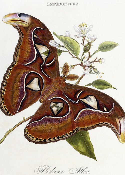 Butterfly Greeting Card featuring the painting Lepidoptera by Edward Donovan