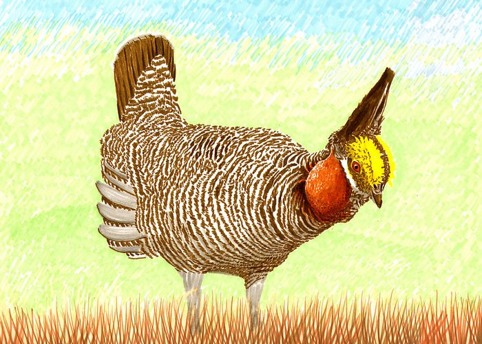 High Plains Chicken Greeting Card featuring the painting Lesser Prairie Chicken by Jack Pumphrey