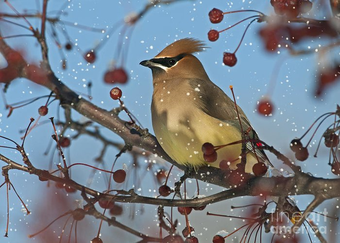 Cedar Waxwing Greeting Card featuring the photograph Let It Snow Let It Snow Let It... by Nina Stavlund