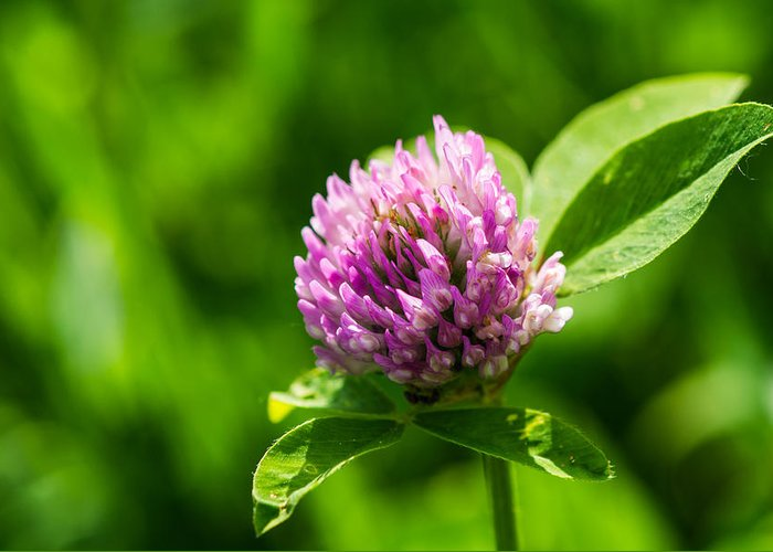 Beautiful Greeting Card featuring the photograph Let Us Live In Clover - Featured 3 by Alexander Senin