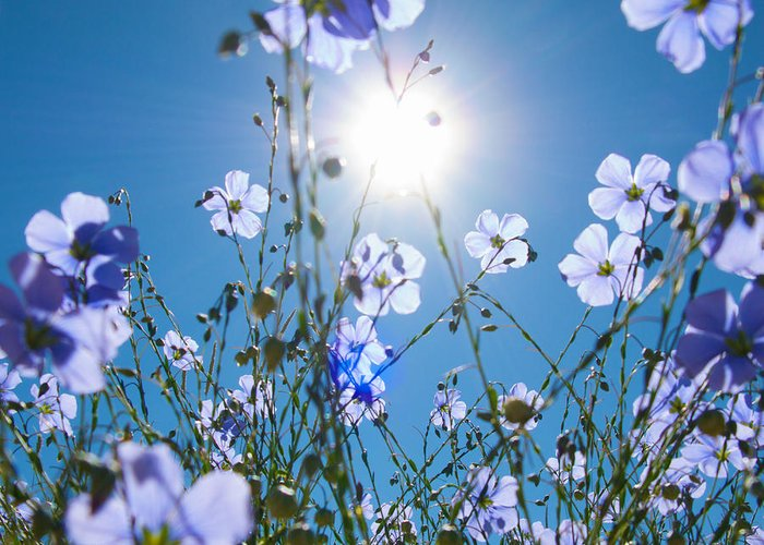 Lewis Blue Flax Greeting Card featuring the photograph Lewis Blue Flax Backlit by Kent Becker