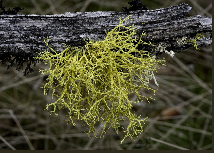 Lichen Greeting Card featuring the photograph Lichen On Limb by Betty Depee