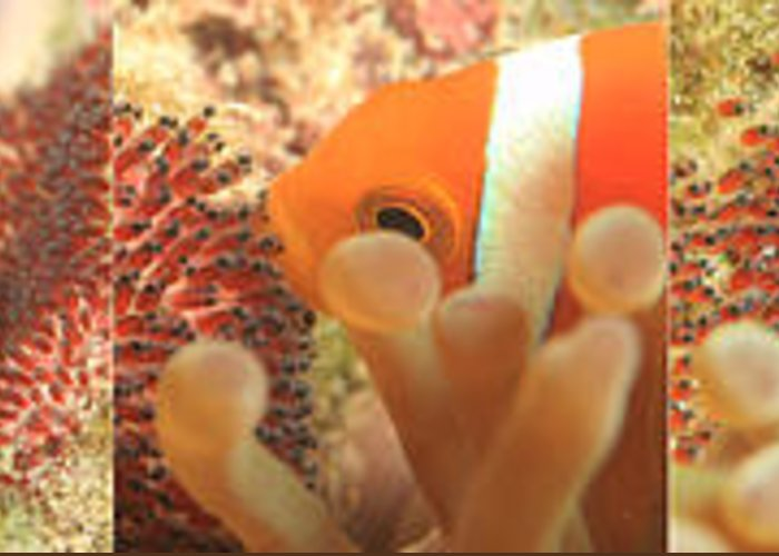 Anemone Fish Greeting Card featuring the photograph Life Cycle Of Anemone Fish by Shifaz Mohamed