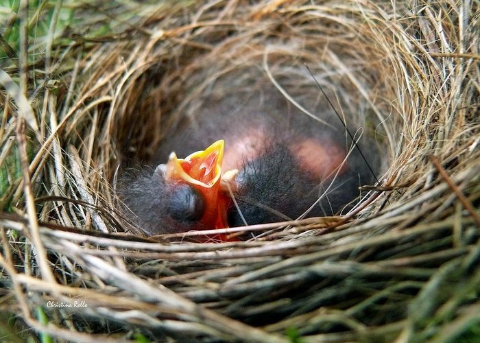 Birds Nest Greeting Card featuring the photograph Life In The Nest by Christina Rollo