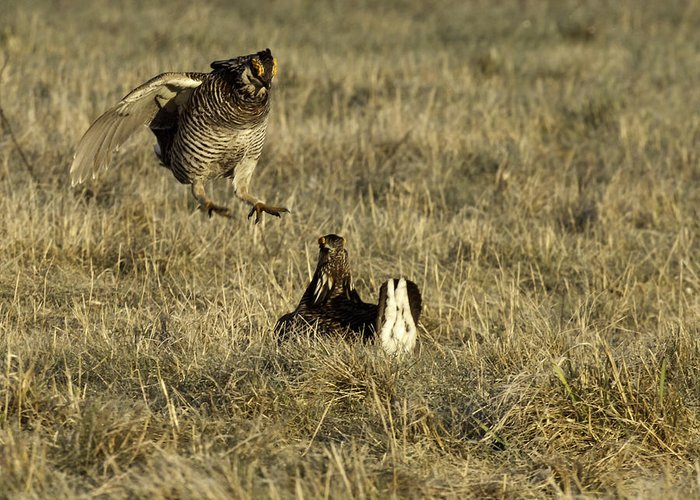 Wisconsin Prairie Chickens Greeting Card featuring the photograph Lift Off by Thomas Young
