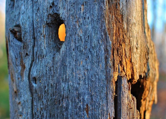 Hollow Tree Greeting Card featuring the photograph Light From Within by Paul Noble