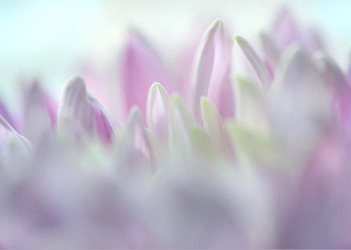 Chrysanthemum Greeting Card featuring the photograph Light Impression 2. Pink Chrysanthemum by Jenny Rainbow