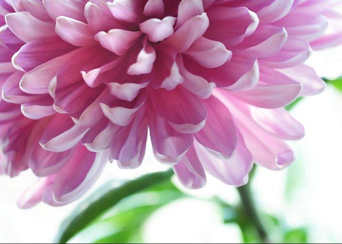 Chrysanthemum Greeting Card featuring the photograph Light Impression. Pink Chrysanthemum by Jenny Rainbow