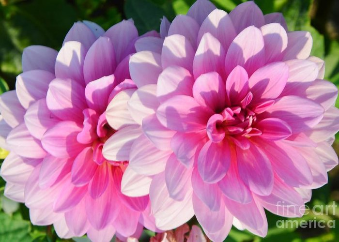 Dahlia Greeting Card featuring the photograph Light Shine by Kathleen Struckle