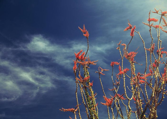 Ocotillo Cactus Greeting Cards