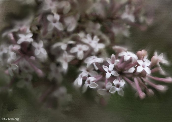 Lilac Greeting Card featuring the photograph Lilac by Fran Gallogly