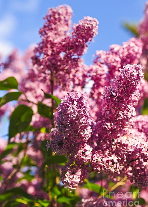 Lilac Greeting Card featuring the photograph Lilacs by Elena Elisseeva