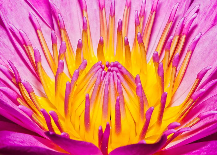 Water Lilly Colorful Tropical Maui Hawaii Greeting Card featuring the photograph Lilly by James Roemmling
