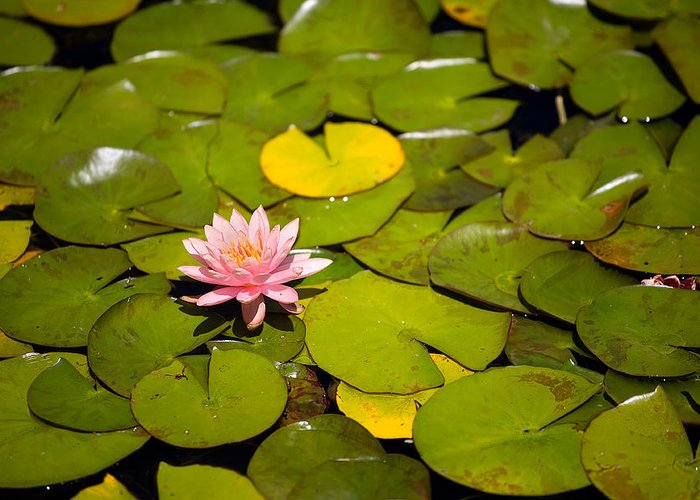 Lillies Greeting Card featuring the photograph Lilly Pond Pink by Peter Tellone