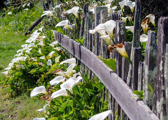 Fence Greeting Card featuring the photograph Lily Fence by Mike Ronnebeck