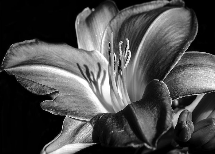 Lily Greeting Card featuring the photograph Lily In Black In White by Camille Lopez