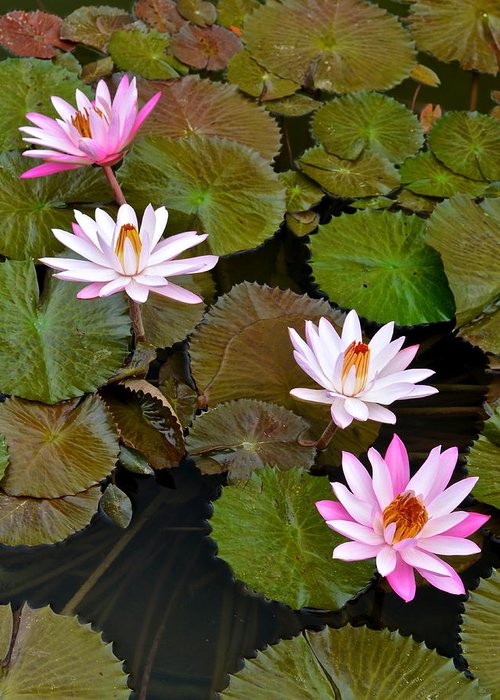 Lilly Greeting Card featuring the photograph Lily Pad Haven by Frozen in Time Fine Art Photography