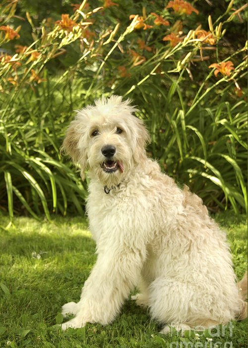 Dog Greeting Card featuring the photograph Lily The Goldendoodle With Daylilies by Anna Lisa Yoder