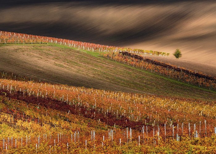 Agriculture Greeting Card featuring the photograph Line And Vine by Vlad Sokolovsky