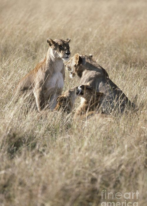 Lion Greeting Card featuring the photograph Lion Family by Adam Beaney