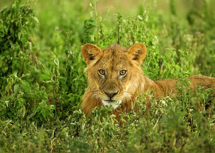 Grass Greeting Card featuring the photograph Lion, Ngorongoro Conservation Area by Paul Souders