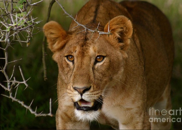 Lioness Greeting Card featuring the photograph Lioness by Alison Kennedy-Benson
