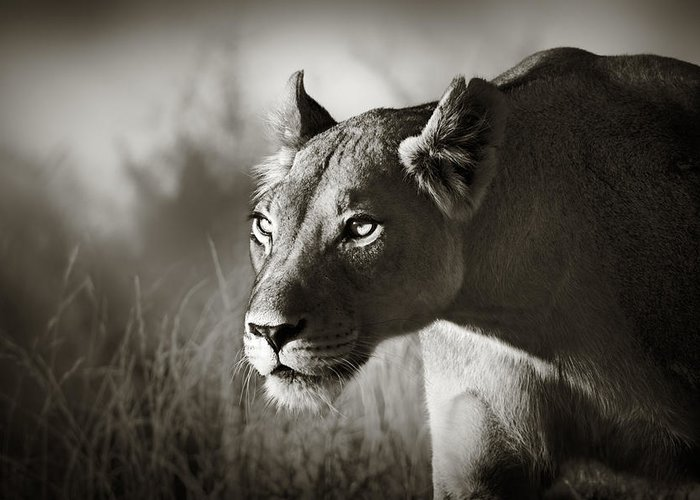 Lioness Greeting Card featuring the photograph Lioness Stalking by Johan Swanepoel