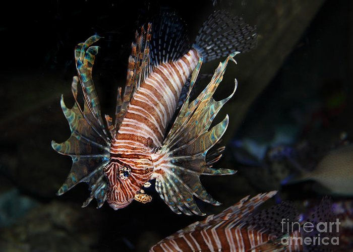 Lionfish Greeting Card featuring the photograph Lionfish 5d24143 by Wingsdomain Art and Photography