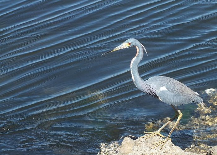 Heron Greeting Card featuring the photograph Little Blue Heron II by Anna Villarreal Garbis