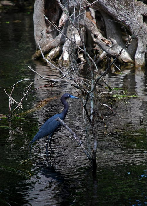 Heron Greeting Card featuring the photograph Little Blue Heron by Skip Willits