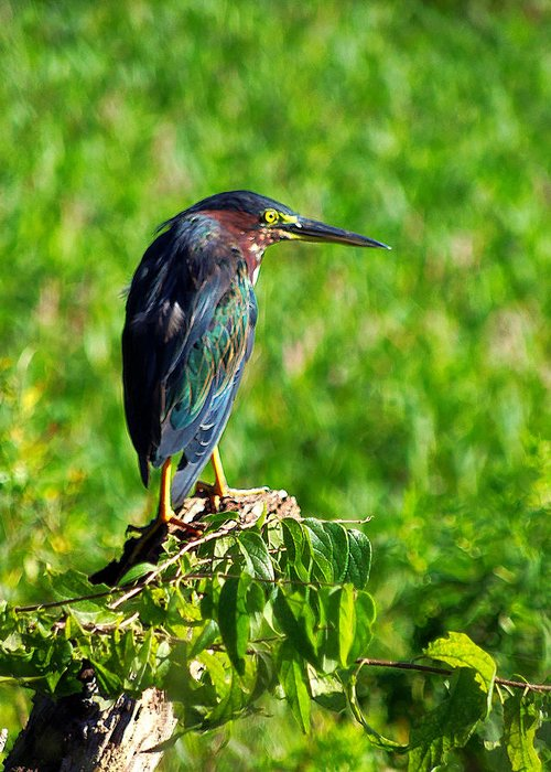Heron Greeting Card featuring the photograph Little Green Heron by Chris Mercer