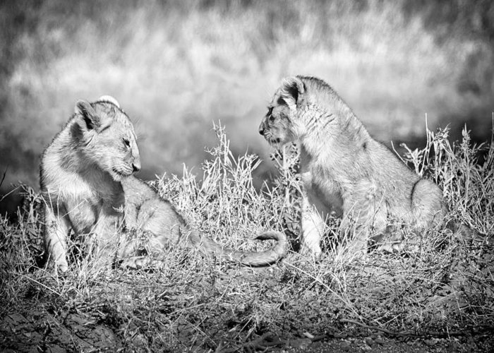 3scape Greeting Card featuring the photograph Little Lion Cub Brothers by Adam Romanowicz