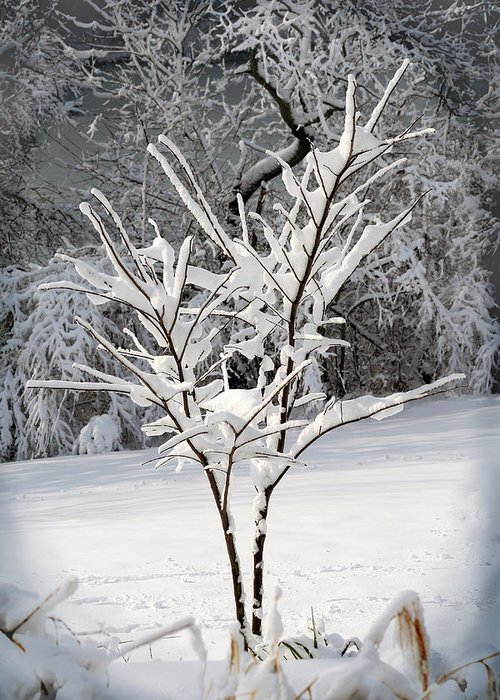 Little Greeting Card featuring the photograph Little Snow Tree by Karen Adams