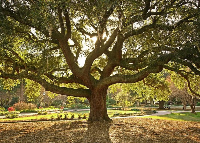 Tranquility Greeting Card featuring the photograph Live Oak by Daniela Duncan
