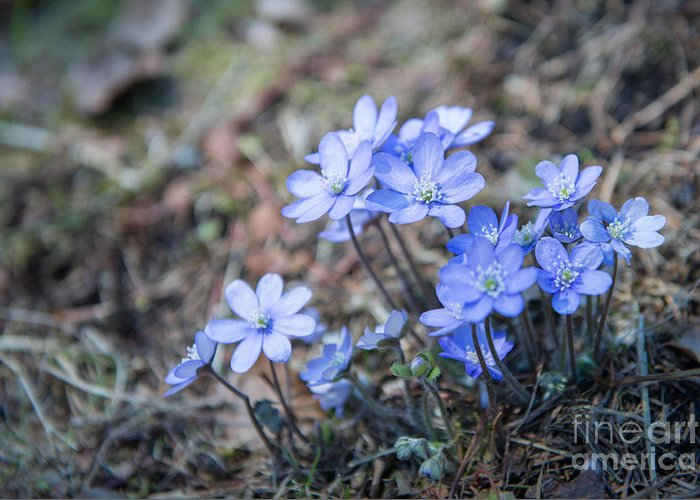 Hepatica Nobilis Greeting Card featuring the photograph liverleaf II by Hannes Cmarits