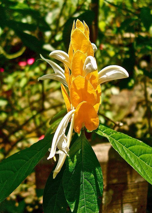 Lollipop Flower In Quepos. Costa Rica Greeting Card featuring the photograph Lollipop Flower In Quepos-costa Rica by Ruth Hager