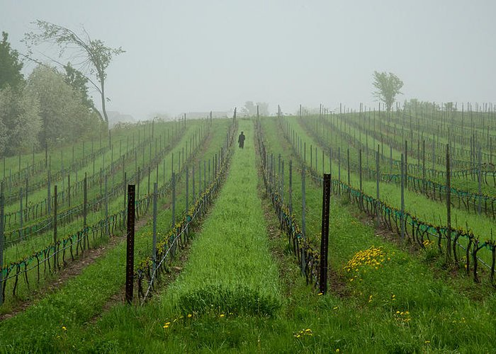 Vine Greeting Card featuring the photograph Lone Figure In Vineyard In The Rain On The Mission Peninsula Michigan by Mary Lee Dereske