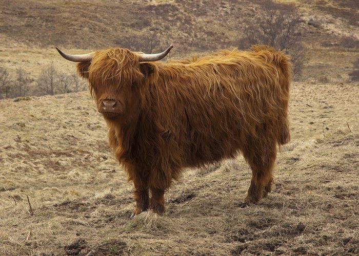 Scotland Greeting Card featuring the photograph Lone Highland Cow by Duncan Mackie